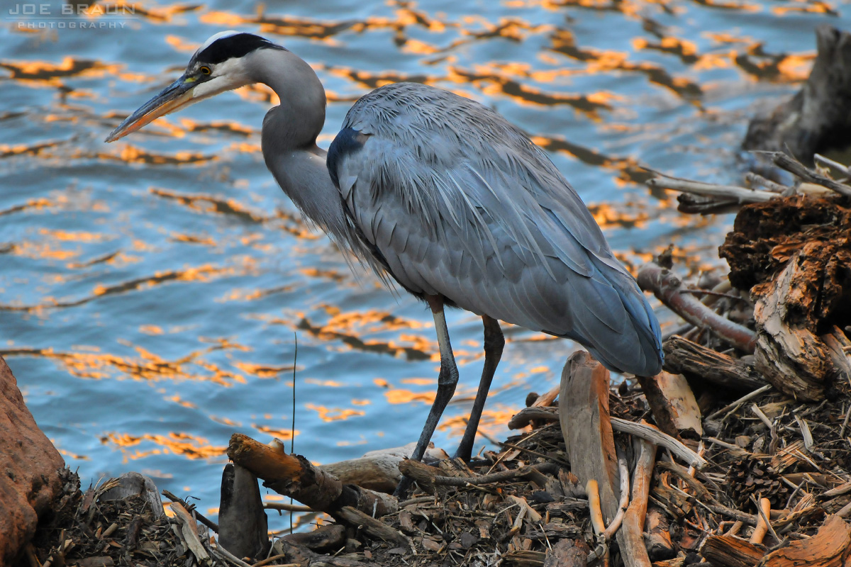 Blue Heron along the Virgin River  -- © 2011 Joe Braun Photography