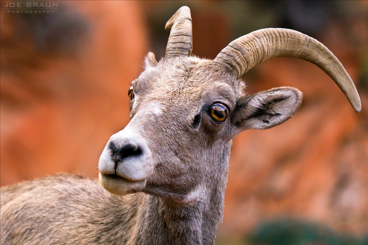 Bighorn Sheep  -- © 2011 Joe Braun Photography