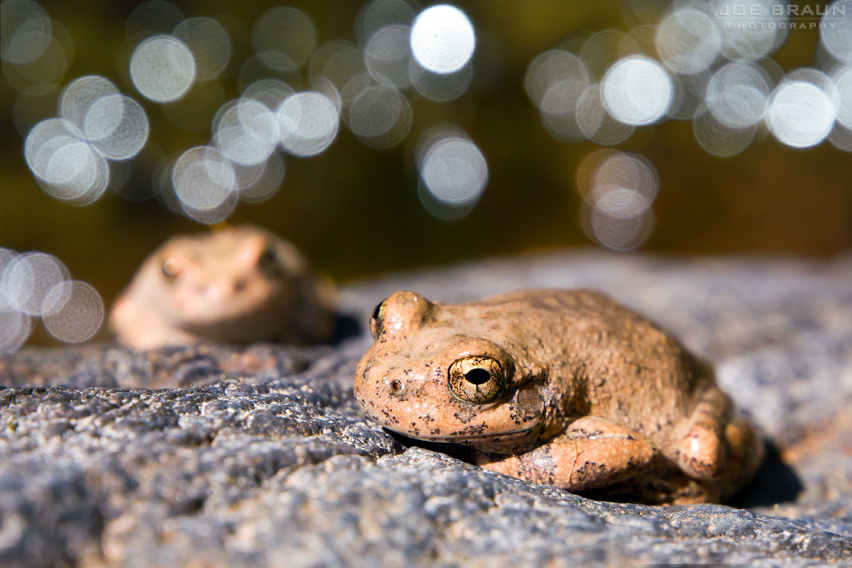 Canyon Treefrogs  -- © 2012 Joe Braun Photography