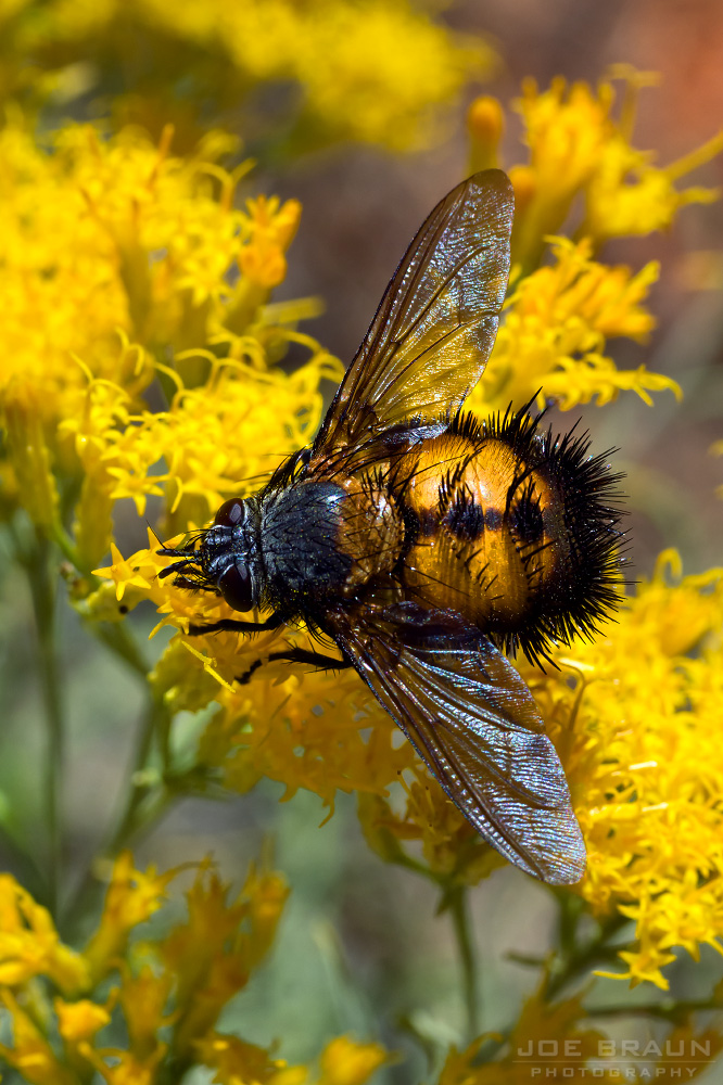 Zion bee fly (spiny tachnid fly)  -- © 2012 Joe Braun Photography