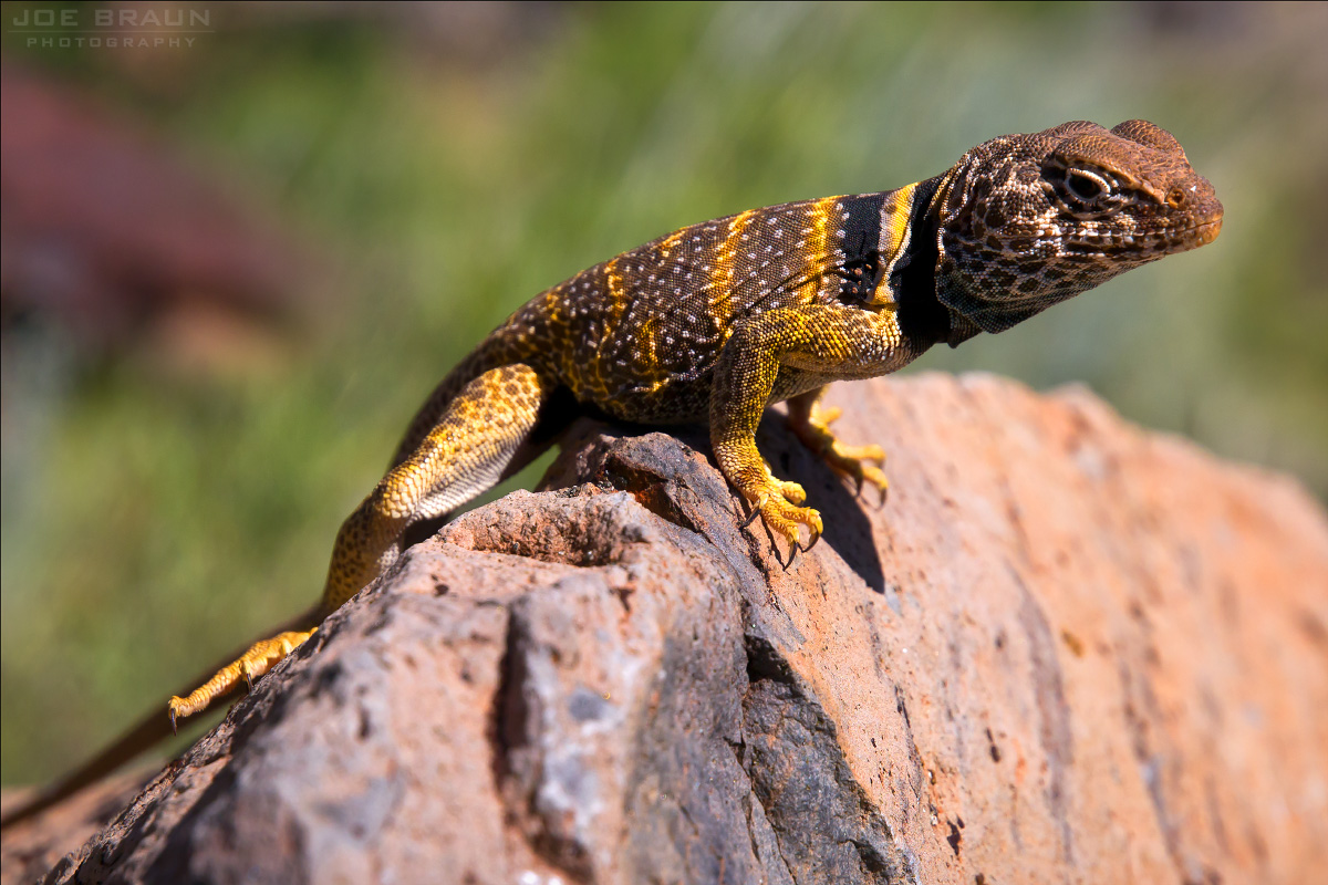 Female collared Lizard (Zion National Park)  -- © 2010 Joe Braun Photography